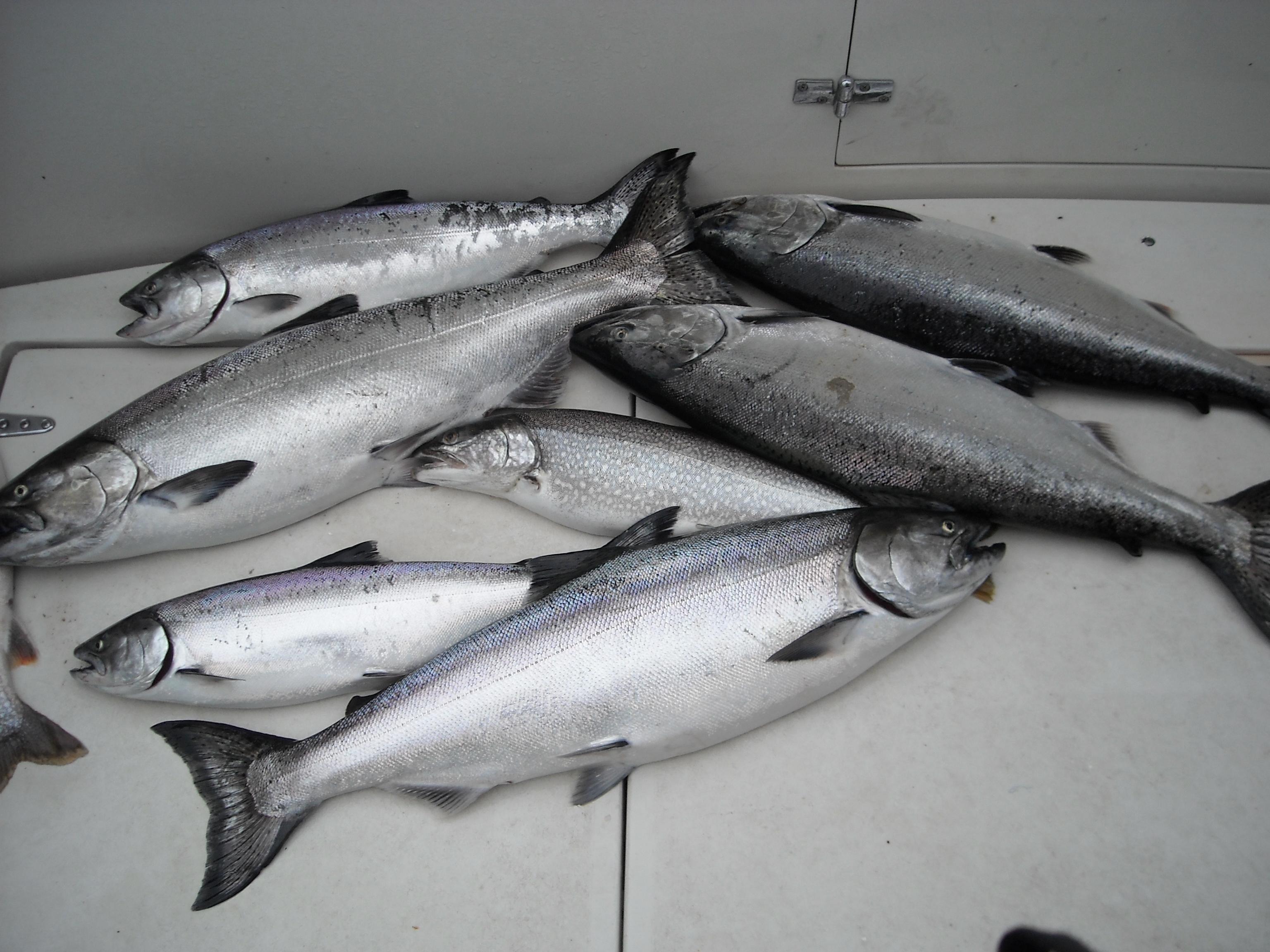 salmon june 6