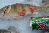 Pic of big perch